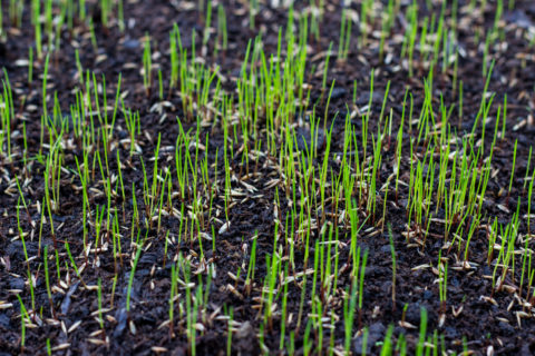 Growing Grass with Grass Seed